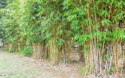 Bambusa vulgaris (Bambù)