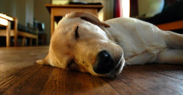cani-che-dormono-sul-fianco